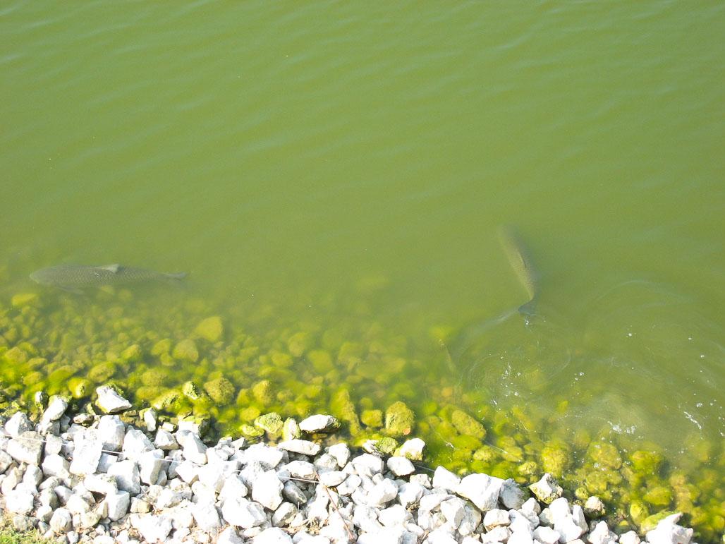 Fish in pond - Wellington Neighborhood, Iowa City